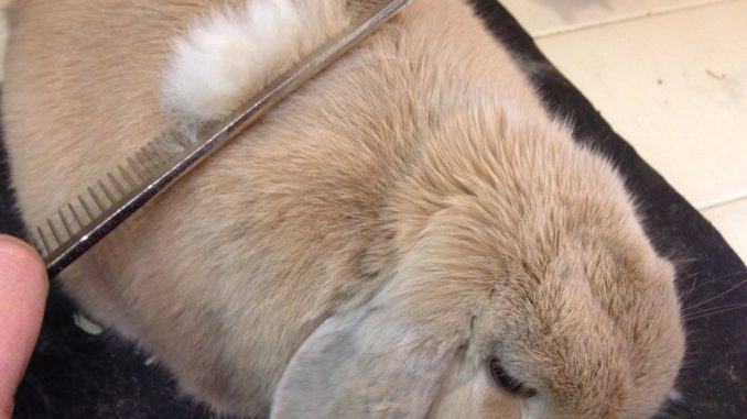 Вместе с клеткой и другими необходимыми аксессуарами владельцу кролика нужно обзавестись специальной расческой