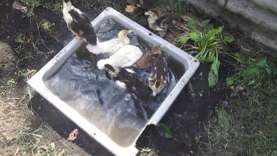 Водоем может представлять собой даже небольшое корыто, в котором птицы будут купаться в жаркую погоду