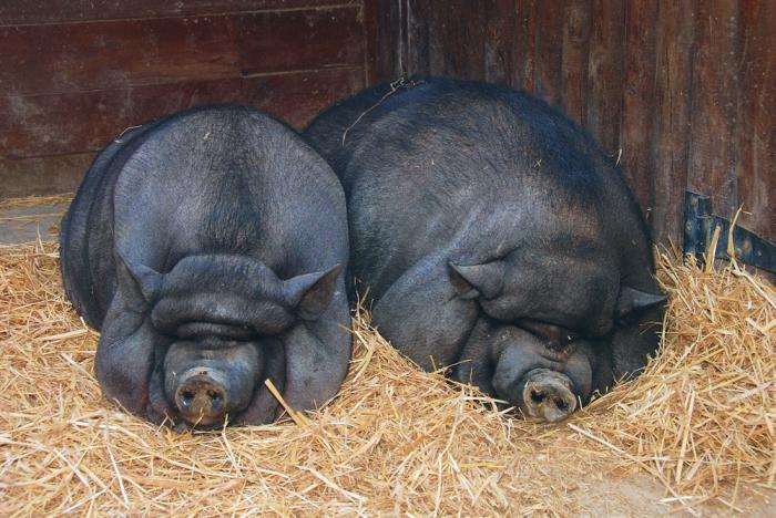 Вьетнамские молодые свиньи