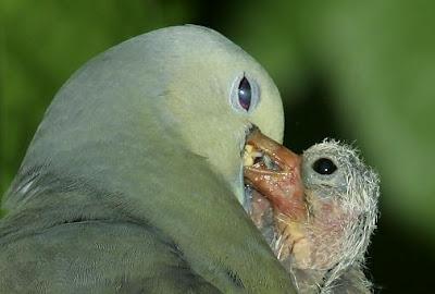 В голубиных семействах кормить детей могут как мать, так и отец