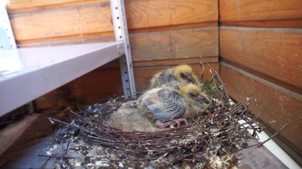 В летнее время года птенцы могут жить в уличных условиях, зимой нужно забрать их в помещение