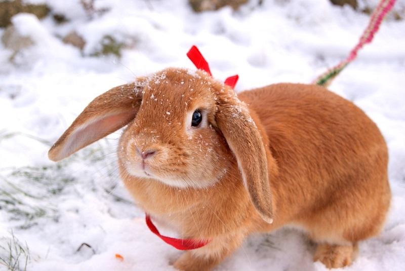 Голландские кролики считаются самыми симпатичными представителями породы