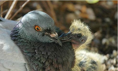 Голуби – прекрасные родители