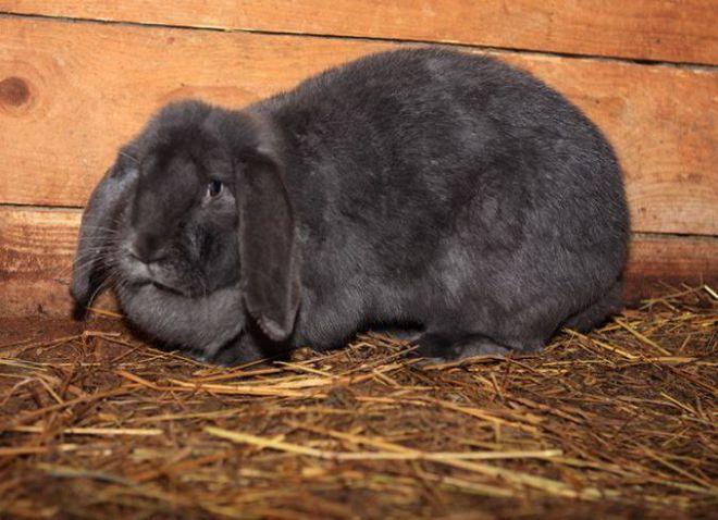 Голубые кролики могут быть как светлого, как и темного окраса