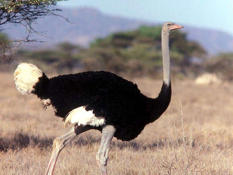 Горайо, или сомалийский страус