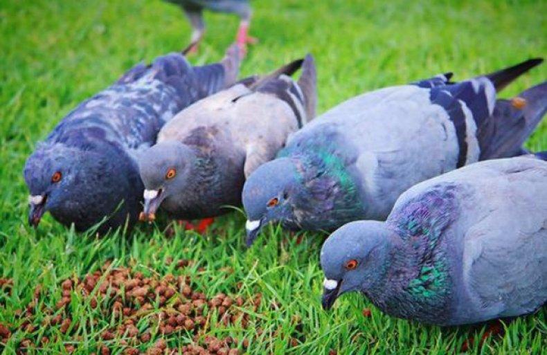 Группа голубей на кормёжке