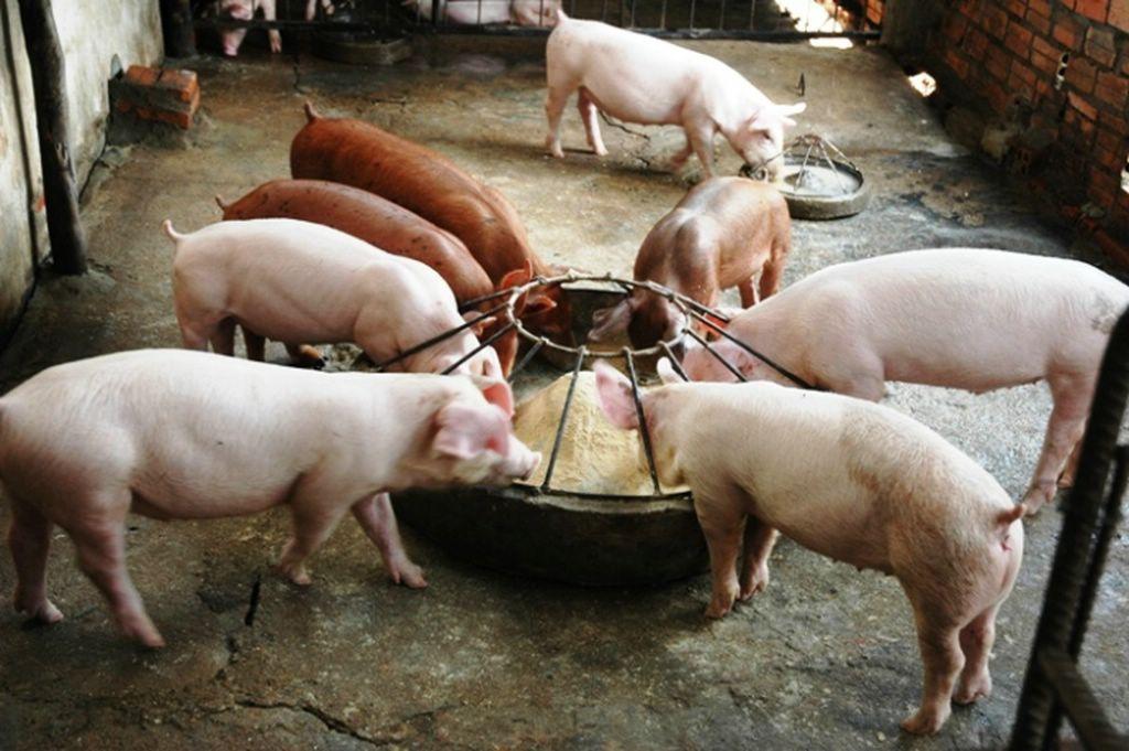 Далеко не все витамины из пищи хорошо усваиваются в организме свиней