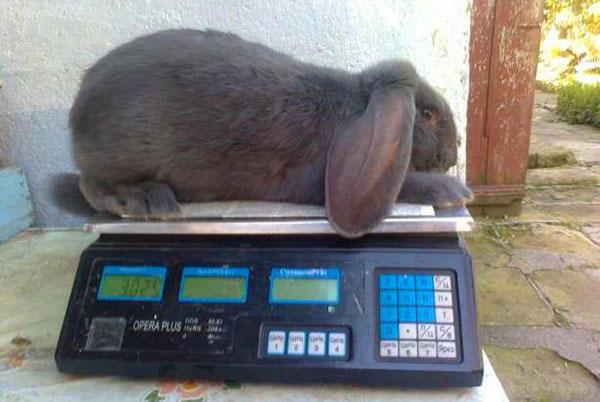 Двухмесячный кролик-баран на весах