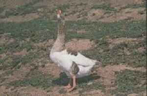 Сколько живут домашние и дикие гуси: обстоятельства, влияющие на продолжительность жизни