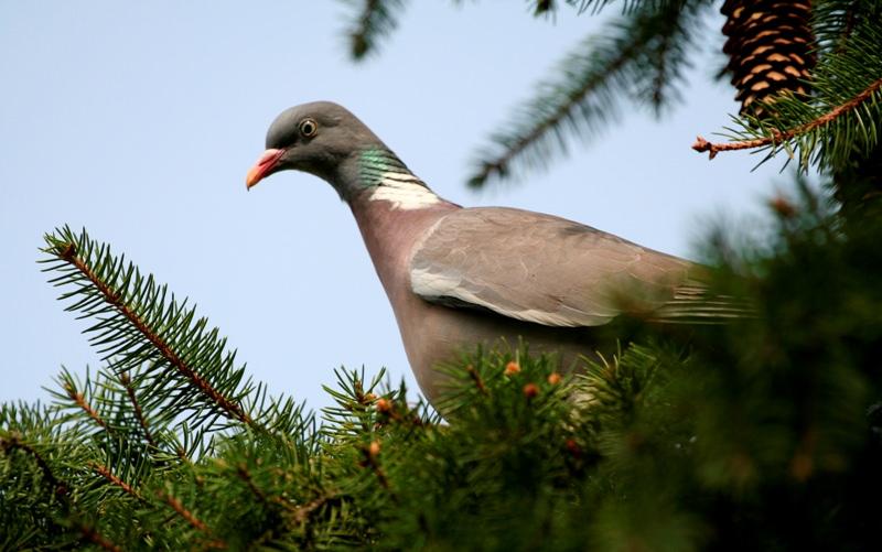 Дикие голуби живут намного меньше своих городских и домашних собратьев