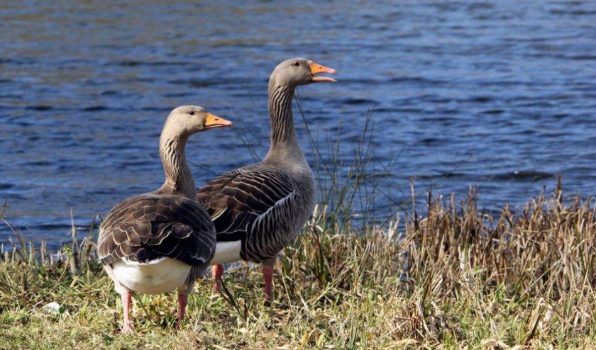 Дикие гуси, в отличие от уток, не слишком любят купаться, однако селятся рядом с водоёмами
