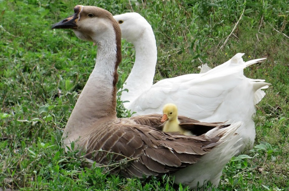 Домашние гуси живут гораздо меньше диких