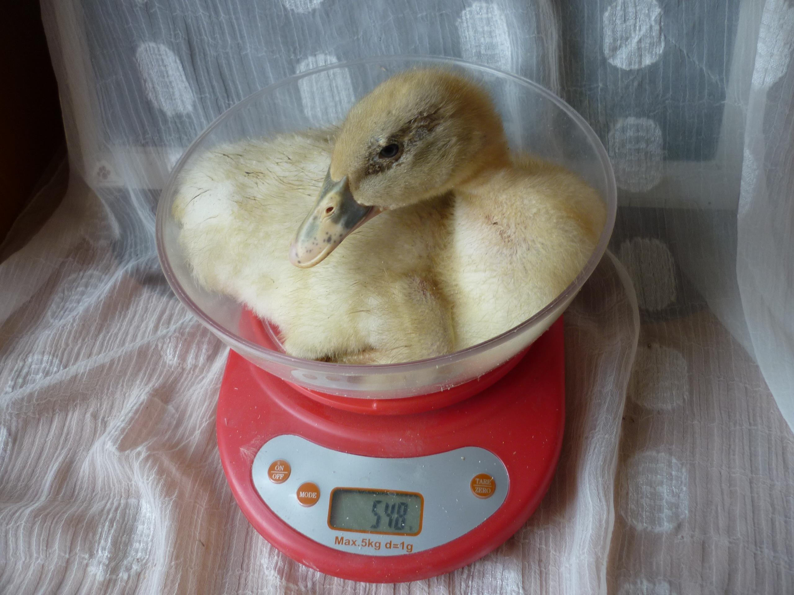 Живой вес взрослой утки - от 5 кг