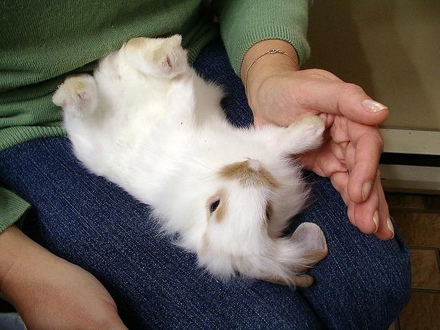 Животные обладают спокойным нравом, легко привыкают к рукам и охотно общаются с человеком