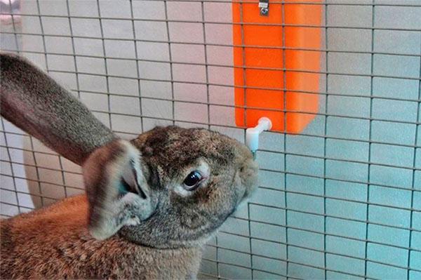 Как и любые животные, кролики не должны страдать от жажды