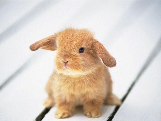 Карликовый крольчонок-баран
