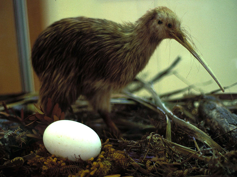 Киви и его яйцо