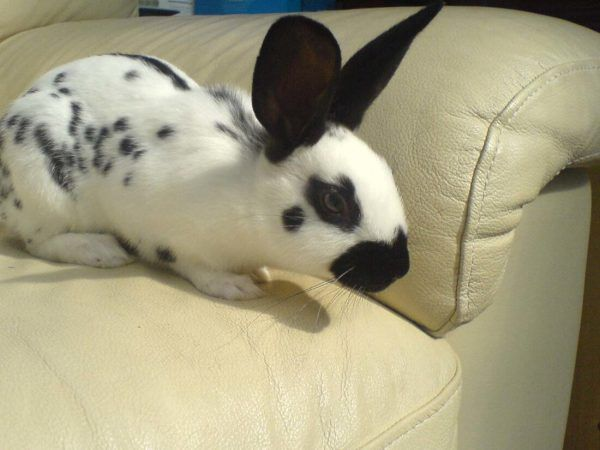 Кролики Бабочки отлично подходят в качестве домашнего любимца