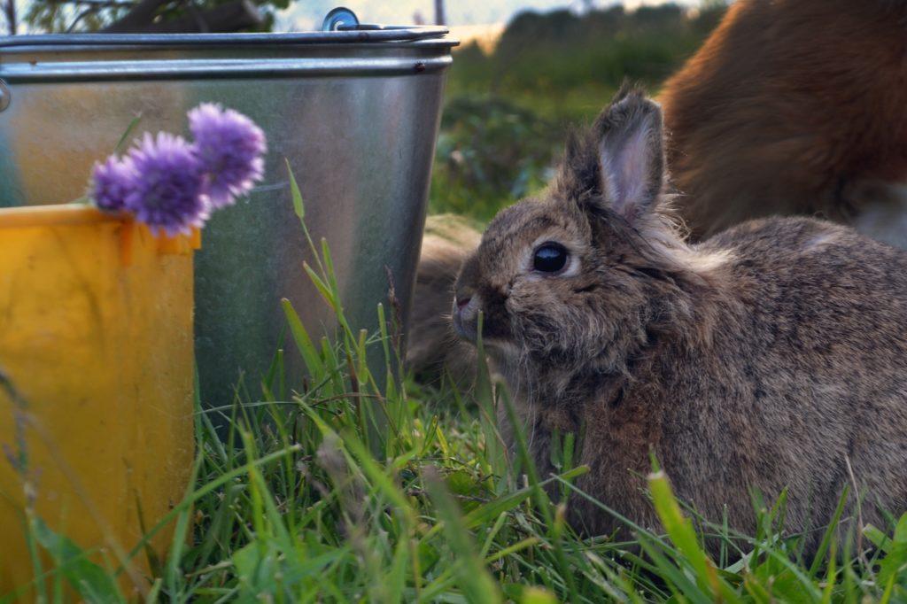 Кролики могут заразиться на прогулке или при контакте с другими животными