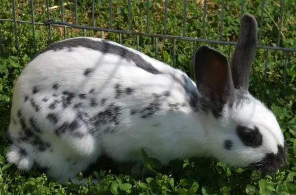 Кролики породы Бабочка с удовольствием едят свежую траву