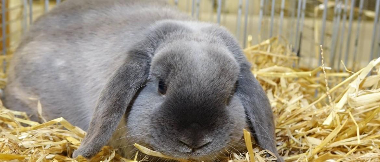 Кролику-барану необходимо удобное и безопасное место проживания