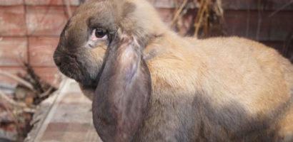 Кролик - баран