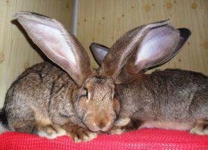 Кролик-фландр