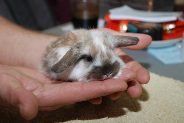 Крольчата, с раннего возраста растущие с человеком, быстро становятся ручными