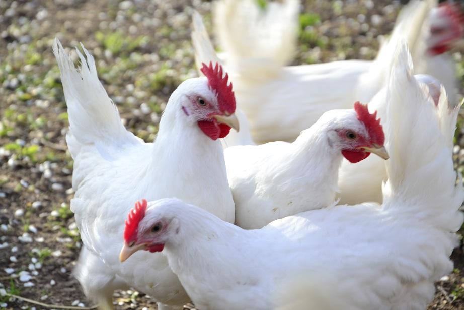 Курицы породы русская белая