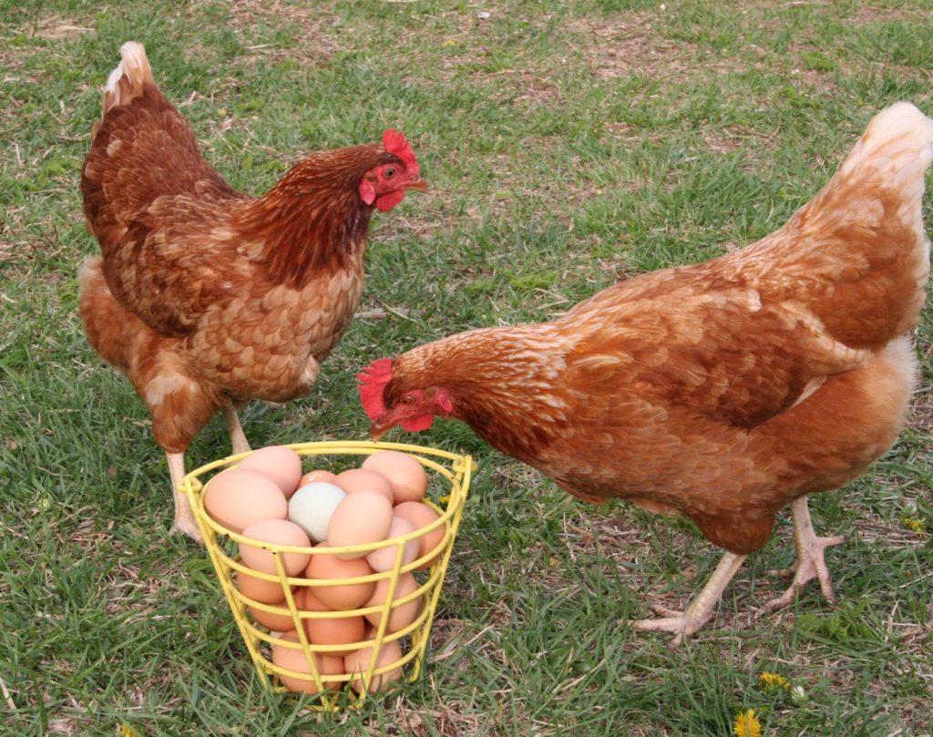 Куры породы родонит с яйцами