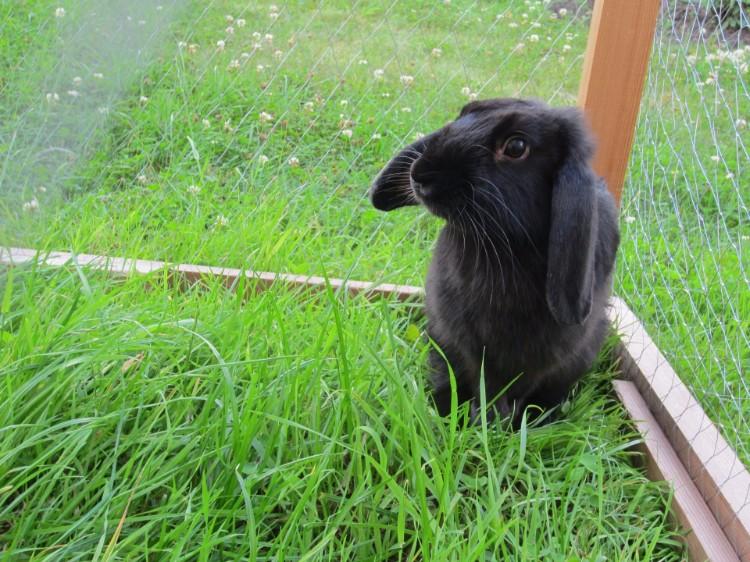 Летом можно переселять кроликов в переносные вольеры, чтобы они сами поедали траву