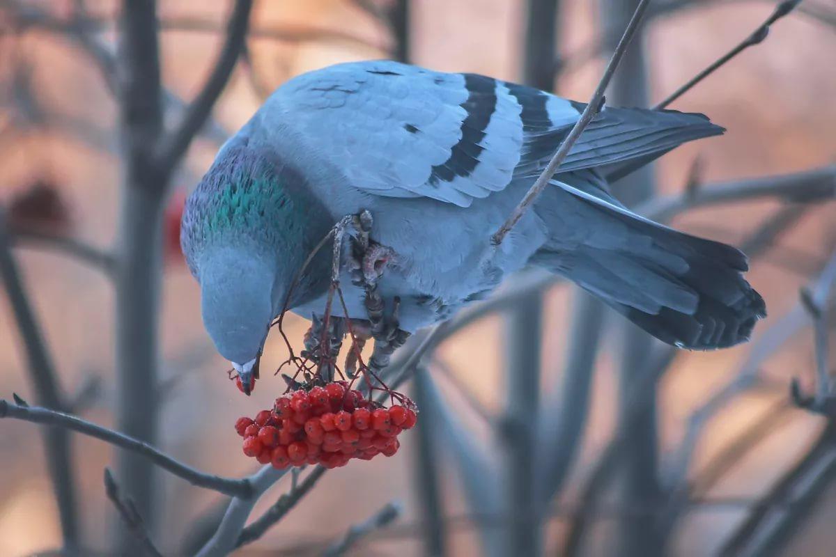 На деревья могут садиться только синантропные голуби