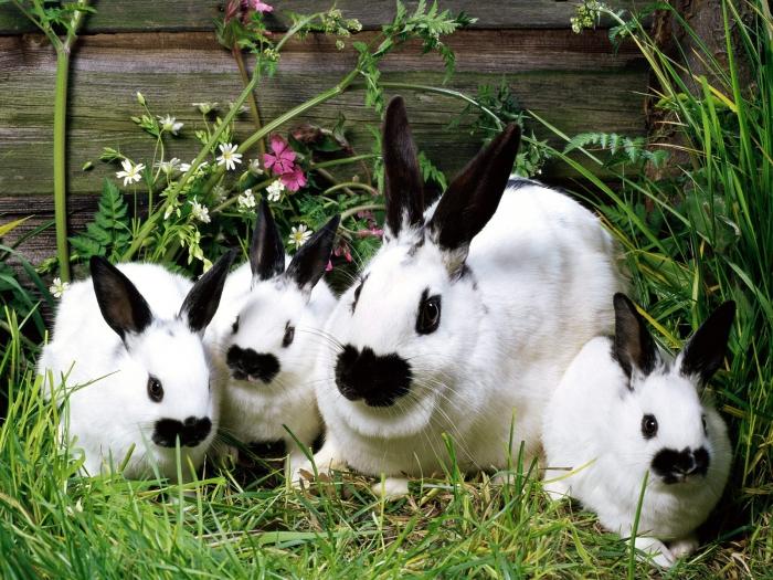 На мордочке кролика по обе стороны от носа должно быть два пятнышка, похожие на крылья бабочки