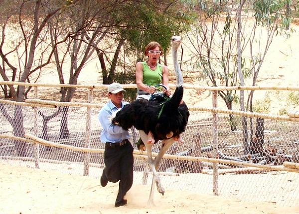 На страусах можно прокатиться с ветерком