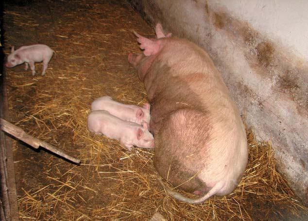 Недостаток йода вызывает у свиней разные заболевания, в том числе малоплодность