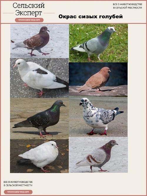 Окрас сизых голубей