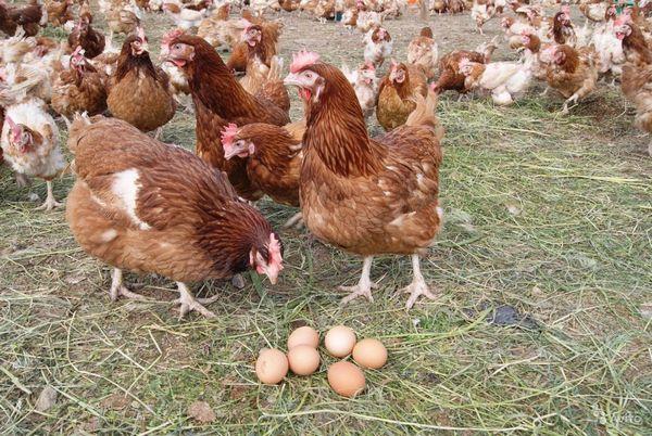 От направленности породы куриц зависит и итог фермерской деятельности