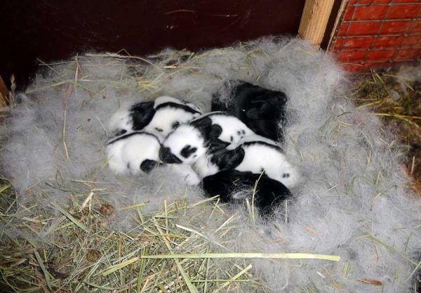 Подрастающие крольчата в гнезде