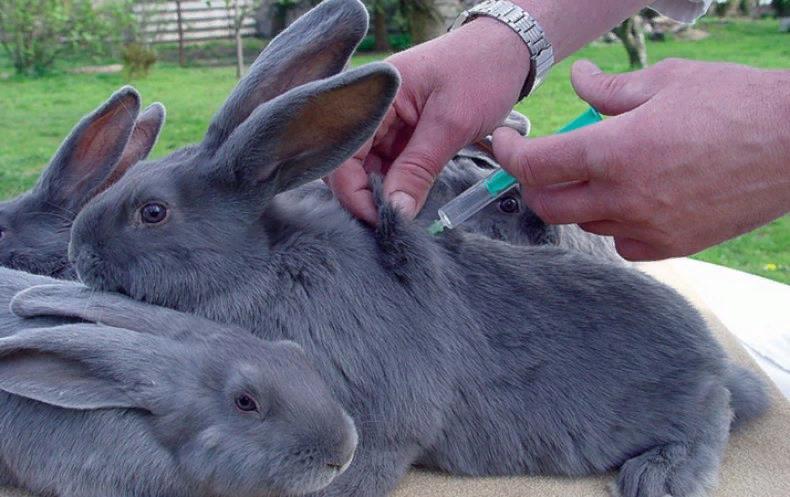 Прививки от паразитов не входят в обязательный график, поэтому решение относительно их проведения принимает хозяин кроликов и ветеринар