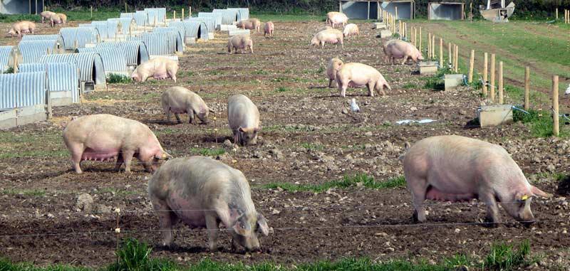 Пример выгула для свиней