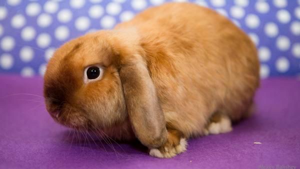 При покупке вислоухого барана нужно обращать внимание на здоровье и внешний вид кролика