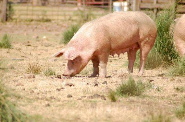 При свободном выгуле организм свиньи получает намного больше питательных компонентов
