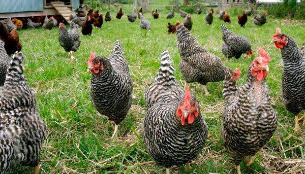 Прогулки повышают продуктивность куриц