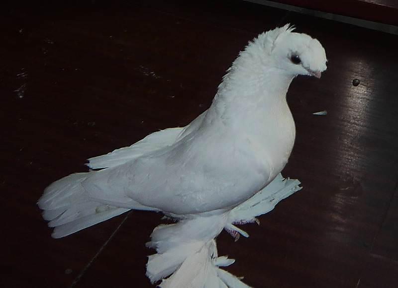 Продолжительность жизни узбекских голубей составляет не менее 20 лет