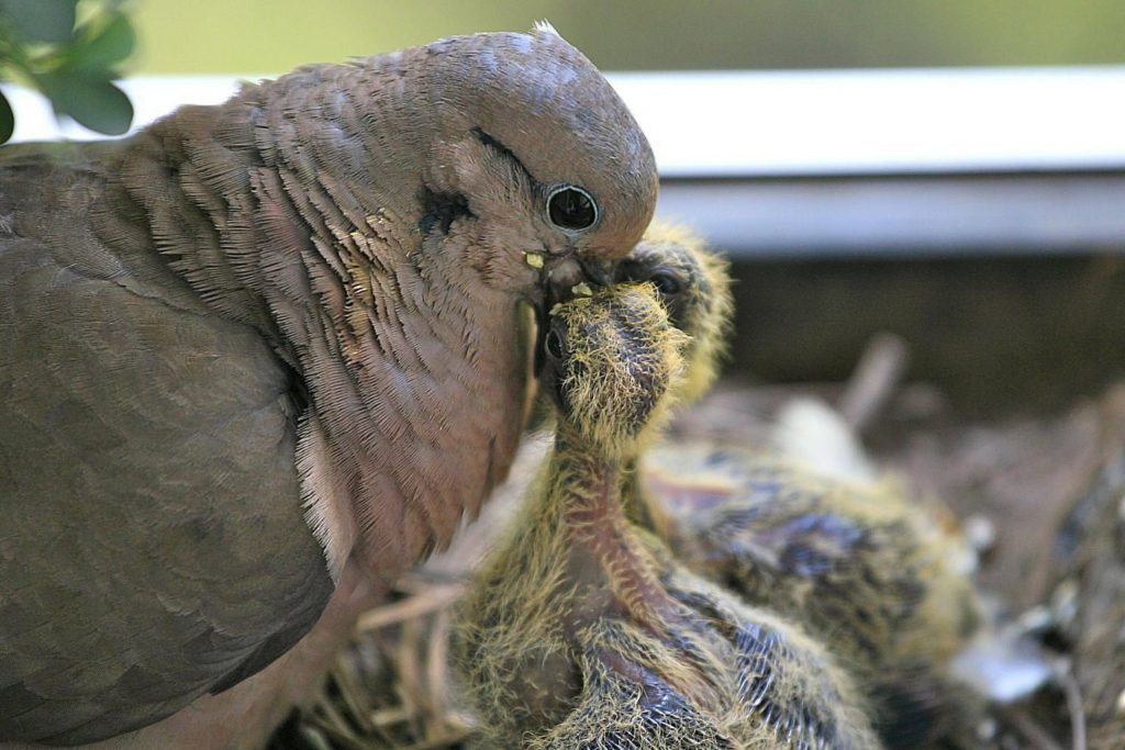 Процесс кормления голубят