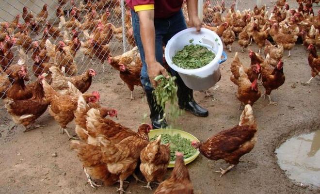 Птицы должны получать с кормом все необходимые вещества