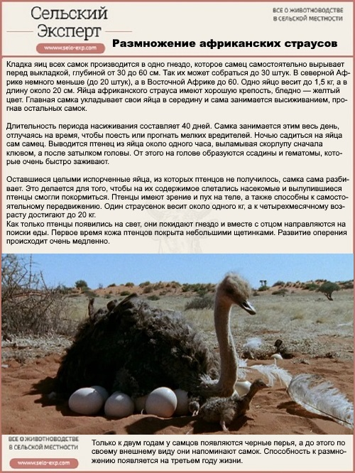 Размножение африканских страусов