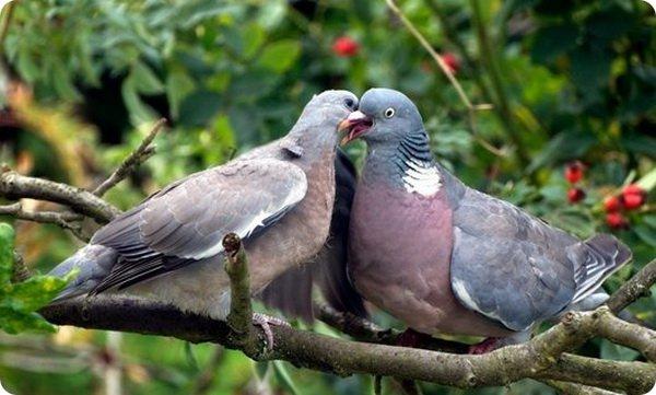Самка и самец голубя
