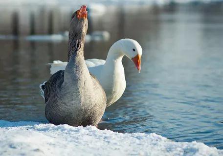 Самой распространённой окраской гусей является белая и серая