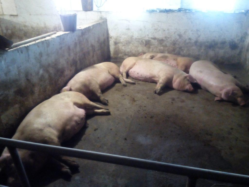 Свинарник должен исключать возможности побега
